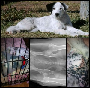 Patch had major hip surgery after being hit by a car & surrendered to us.